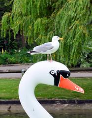 Seagull hitching a ride (davids pix) Tags: seagull swan mewsbrook park littlehampton sussex 2019 04072019