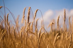 Hot Summer Day (Celtis Australis) Tags: hay straw summer bokeh sky cloud pentaxk50 pentaxart wheat colourful countryside colour outoffocus sovietlens russianlens manuallens m42 helios44m