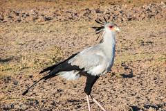 Secretary Bird (dzTraveler) Tags: africa kenya safari gamedrive trip animals wildlifepark nationalreserve 2017 masaimara