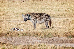 Hyena (dzTraveler) Tags: africa kenya safari gamedrive trip animals wildlifepark nationalreserve 2017 masaimara