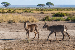 Female waterbuck (dzTraveler) Tags: africa kenya safari gamedrive trip animals wildlifepark nationalreserve 2017 masaimara