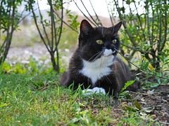 Tussi found a nice place in the border (vanstaffs) Tags: tussi tuzz tuxedocat t tux tusse tuzz® myprettytuxedogirl