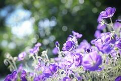 cranesbill (8-ballmabelleamie) Tags: luriegarden orion geraniumorion flowersandcolors flowerscolors city garden flowerbed purple green bokeh sunlight geranium