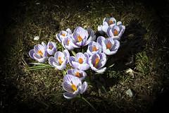 Crocus IMG_1767 (Paul_Paradis) Tags: blossom fleur flora floral flower garden jardin plant plante nature natural printemps spring crocus brillant macro canada quebec iledorleans