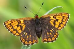 Duke of Burgundy -Hamearis lucina- Cerne Abbas-160519 (4) (Ann Collier Wildlife & General Photographer) Tags: dukeofburgundy hamearislucina cerneabbas insect britishwildlife britishinsects nationaltrust dorset dorsetwildlife butterflies butterfliesmothsandcaterpillars britishbutterflies