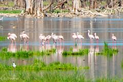 Flamingo in Nakuru Lake, Kenya (dzTraveler) Tags: africa kenya safari gamedrive trip animals wildlifepark nationalreserve 2017 masaimara