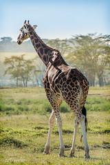 Giraffe (dzTraveler) Tags: africa kenya safari gamedrive trip animals wildlifepark nationalreserve 2017 masaimara