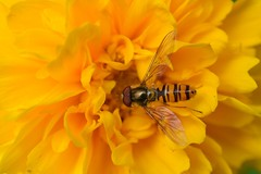 Flying Visit (suekelly52) Tags: marmaladefly hoverfly insect flydayfriday diptera