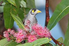 Noisy Miner 010 (DMT@YLOR) Tags: bird avian noisyminer flower blossom redfloweringgumtree corymbiaficifolia yellow red grey green blue sky wildlife nature outside outdoors goodna ipswich queensland australia aussie australian leaf leaves perch garden tree branch twig