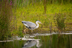 The Heron and the Eel 1 of 14 (cabalvoid) Tags: woodland a7riii wildlife nature water heron lincolnshire lake imagesequence bird