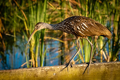 Dinner time at the dock (FotoFloridian) Tags: bird nature wildlife animal outdoors swamp animalsinthewild marsh water lake birdwatching summer forest beak limpkin sony alpha a6400l florida mtdora