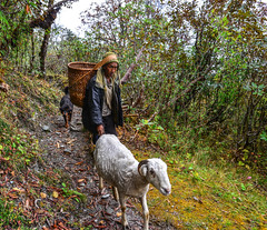 Man with goats walking on trail of forest (phuong.sg@gmail.com) Tags: annapurna asia autumn backpack backpacker beautiful circuit climbing environment fall foot footpath forest green high hike hiker hiking hill himalaya himalayan inspirational inspiring jungle landscape mountain nature nepal people river tourism tourist travel traveller tree trek trekker trekking trip tropical valley view vintage walk wild woods young