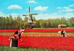 1985 Holland (Steenvoorde Leen - 14.2 ml views) Tags: ansichtkaart briefkaart card postcard kart postkarte cardar postal tarjeta carta korespodenzkarte correspodenzkarte brefort cartolina listek korespodencni old postcards geschiedenis historie history 1985 holland olanda bloembollenveld tulpen tulips molen moulin muhle mill