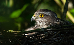 sparrowhawk (ianrobertcole1971) Tags: