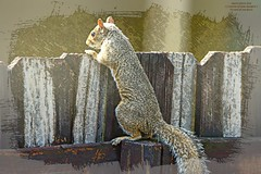 Happy Fence Friday (NancySmith133) Tags: easterngraysquirrels fences fencefriday fence happyfencefriday