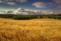 barley field (bożenabożena) Tags: landscape summer barleyfiled sky clouds poland yellow krajobraz polejęczmienia lato niebo chmury żółty polska