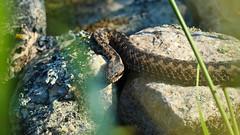 Adder (Vipera berus); gravid female basking (phl_with_a_camera1) Tags: adder vipera berus gravid female basking