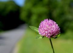 Red Clover (jmunt) Tags: wildflower clover