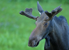 Bull Moose...#3 (Guy Lichter Photography - 5.1M views Thank you) Tags: canon 5d3 canada manitoba rmnp wildlife animal animals mammal mammals moose male bull