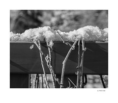 Lifeline (agianelo) Tags: snow vine fence monochrome bw bn blackandwhite