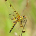 Calico pennant in the wind  (Celithemis elisa)