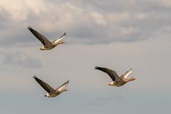 Grågäss i formationsflykt. (Anders Öquist) Tags: fåglar grågås huddinge södermanland sverige