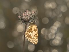 Melanargia galathea (de_frakke) Tags: dambordje vlinder farfalle mariposa schmetterling papillon bokehnature macro
