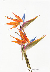 Angelo Ioculano: Bird of paradise 2019 (Angelo Ioculano Visual Communications and Arts) Tags: watercolor watercolour bird paradise painting botanical art