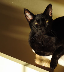 Early Morning Sunshine (annette.allor) Tags: black cat feline chat silver tipped