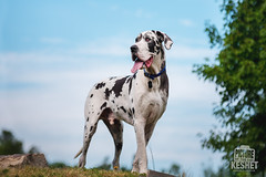 Picture of the Day (Keshet Kennels & Rescue) Tags: adoption dog dogs canine ottawa ontario canada keshet large breed animal animals kennel rescue pet pets field nature photography great dane pose blue sky hilltop peak stand stature proud tongue out panting grass