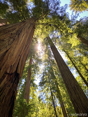 Towering (Nick Kanta) Tags: california color forest nationalpark outdoorphotography redwoodnationalpark redwoods sunlight trees iphone8plus iphoneography