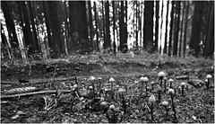 Pferdemistschwammerl mit Fichtenzapfen (-; (jo.sa.) Tags: analog analogefotografie lebensraum landschaft pilze wald kleinbild bw schwarzweissfotografie schwarzweiss sw