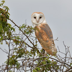 Barn Owl (Tyto Alba) (KHR Images) Tags: barnowl barn owl tytoalba wild bird birdofprey cambridgeshire fens wildlife nature dusk nikon d500 kevinrobson khrimages