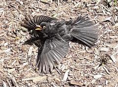 Blackbird Trying To Keep Cool (terencepkirk) Tags: blackbird bird nature garden british britain canon 550d