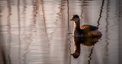 Water bird in late light (Julie Holland photography) Tags: australia albany albanywesternaustralia avian avianphotography australianbird animal australianlandscape grebe canoneos5dmarkiii