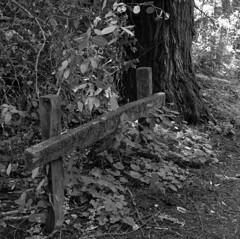 Heritage Grove (bingley0522) Tags: hasselblad500cm carlzeissplanar80mmf28 heritagegrove sammcdonaldcountypark sanmateocounty redwoods redwoodforest coastalcalifornia coastrange autaut