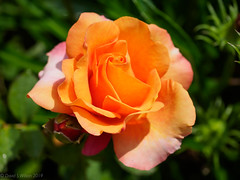 2019 #180: Rose (David S Wilson) Tags: england flowers uk leica2845mmmacro olympuspenf davidswilson ely flower 2019 lightroom floral rose orange