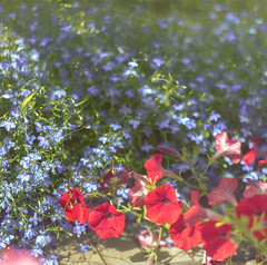 Петунья ампельная красная и голубая лобелия на тепличном столе (Nanaccept) Tags: петунья красная ампельная голубая лобелия теплица стол creativemarket nanaccept фон зелень белый гармония зеленый сочетание натурально
