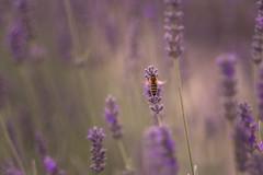 Landung (jakob.jonscher) Tags: biene lavendel lila purple sommer bokeh sachsen erzgebirge macro unlimited