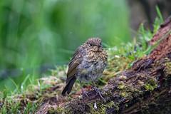 Juvenile Robin (dee kells) Tags: nikon nikond7200 wildlife wildbird robin gardenbird garden hedgerow tamron150600