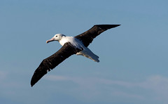 Royal Albatross (Northern)_Diomedea epomophora (Kremlken) Tags: diomedeaepomophora pelagic southamerica southernocean pacific australwinter chilean humboldtcurrent birds bird birdwatching birding nikon500 nature