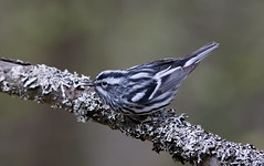 Black and White Warbler. (mandokid1) Tags: canon 5dmk1v ef600mm11 birds warblers