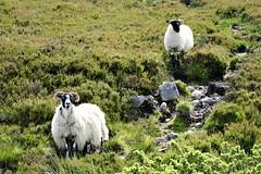 Sheep and lamb. (artanglerPD) Tags: sheep lamb hillside