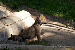 Gray Wolf Cubs (My Planet Experience) Tags: wolf gray grey timber canislupus lupus loup cub pup three den alpha wild wildlife wilderness mammal animal forest nature natural nopeople day color outdoors species endangered iucn redlist france f myplanetexperience wwwmyplanetexperiencecom