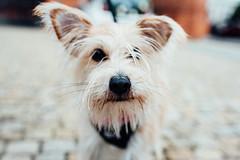 Snout (ewitsoe) Tags: kautzwedding nikon poznan slub wedding erikwitsoe poland nikond750 sigmaart35mm street urban dog pet animal canine face puppy cute ewitsoe