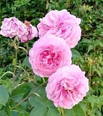Pink Rose (daveandlyn1) Tags: gertrudejekylls rose adavidaustinpinkrose depthoffield dof mygarden pralx1 p8lite2017 huawei smartphones psdigitalcamera cameraphone