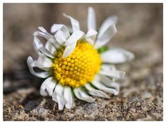 Daisy (ryles 0_0) Tags: texture flower snapseed contrast yellow daisy closeup dof white petal
