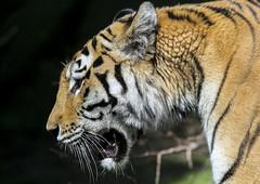 Tiger Profile (Danny VB) Tags: tiger head profile tigre zoo animal quebec canada orange canoneos5dmarkiii canon5d