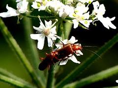 Rhagonycha fulva 12.7.19 (ericy202) Tags: rhagonycha fulva beetle mating pair