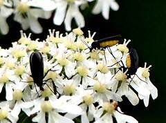 Black Fungus Gnat 12.7.19 (ericy202) Tags: black fungus gnat sciara hemerobiodes titchwell rspb